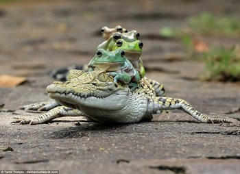 i.dailymail.co.uk_i_pix_2016_11_04_11_3A0DEA2000000578-3904832-Hilarious_pictures_show_the_moment_the_five_tree_frogs_clambered-a-8_1478258024719.jpg